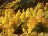 Aspen Trees in Autumn, Capitol Reef National Park, Utah, USA Photographic Print by Green Light Collection