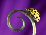Side View Close Up of Yellow Ladybug Sitting on a Green Curlicue Shaped Leaf Photographic Print by Green Light Collection