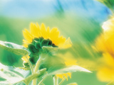 Soft Focus of Yellow Flower, Blurred Motion Photographic Print by Green Light Collection