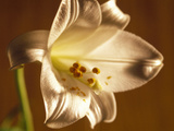 Close-up of a Lily Flower Photographic Print by Green Light Collection