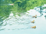 Baby Geese Swimming in Water Photographic Print by Green Light Collection