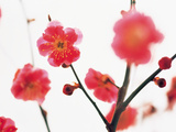 Red Flowers on White Background Photographic Print by Green Light Collection
