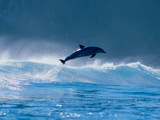 Common Dolphin Breaching in the Sea Fotografisk tryk af Green Light Collection