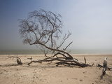 Dead Tree on the Beach Photographic Print by Green Light Collection