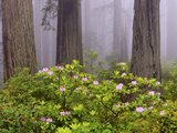 Rhododendron Flowers in a Forest Photographic Print by Green Light Collection