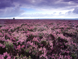 Heather on Moor N Yorkshire England Stampa fotografica di Green Light Collection
