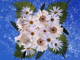 Close Up of White Daisy Bouquet with Mottled Blue Background Photographic Print by Green Light Collection