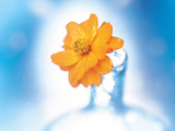 Close Up of Ruffled Marigold Bloom in Blue Bottle with Blurred Blue And White Background Photographic Print by Green Light Collection