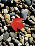 Maple Leaf on Pebbles Photographic Print by Green Light Collection