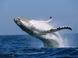 Humpback Whale (Megaptera Novaeangliae) Breaching in the Sea Photographic Print by Green Light Collection