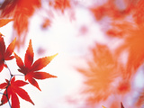 Red Maple Leaves Photographic Print by Green Light Collection