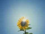 Low Angle View of a Sunflower (Helianthus Annuus) Stampa fotografica di Green Light Collection