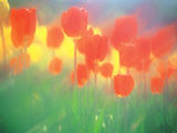 Red Tulips Photographic Print by Green Light Collection