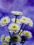 Selective Focus Close Up of a Bouquet of White And Yellow Chrysanthemums Photographic Print by Green Light Collection