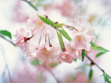 Cherry Blossoms in Bloom Photographic Print by Green Light Collection