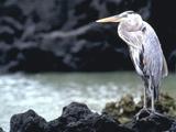 Bird Galapagos Is Ecuador Photographic Print by Green Light Collection