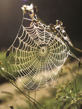 Spider Web Photographic Print by Green Light Collection