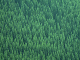 Pine Trees in a Forest, Nagano, Oita Prefecture, Japan Photographic Print by Green Light Collection