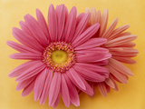 Close Up of Two Pink Zinnias on Yellow Gold Background Photographic Print by Green Light Collection