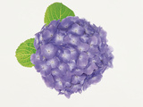 Hydrangea on White Background Photographic Print by Green Light Collection