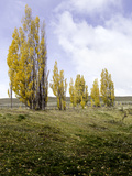 Aspen Trees in Autumn, Estancia Punta Del Monte, Aysen Region, Patagonia, Chile Photographic Print by Green Light Collection