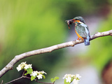 Kingfisher Holding Fish in Beak Perched on a Branch Photographic Print by Green Light Collection