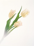 White Flower with White Background Photographic Print by Green Light Collection