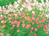 Pink And White Wildflower Meadow in Breeze Photographic Print by Green Light Collection