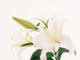 Close Up View of White Lily Flower Photographic Print by Green Light Collection