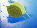 Two Leaves One on Top of Another with Shadow on Wet Blue Surface Photographic Print by Green Light Collection