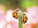 Close Up of Two Ladybugs Photographic Print by Green Light Collection