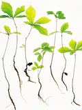 Saplings with Root on White Background Photographic Print by Green Light Collection
