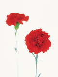 Red Flower on White Background, Foreground Focus Photographic Print by Green Light Collection