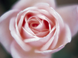 Close-up of a Pink Rose Photographic Print by Green Light Collection