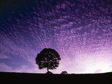 Silhouette of Solitary Tree with Purple Sunset Photographic Print by Green Light Collection