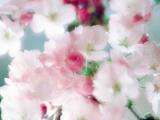 Cherry Blossoms, Close Up View Fotografie-Druck von Green Light Collection