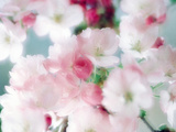 Cherry Blossoms, Close Up View Stampa fotografica di Green Light Collection