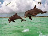 Two Bottlenose Dolphins Leaping in Sea Photographic Print by Green Light Collection