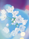 Close Up of White Flowers with Out of Focus Blue Background Photographic Print by Green Light Collection