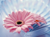 Close Up of Two Pink Gerbera Daisies in Water Ripples Photographic Print by Green Light Collection