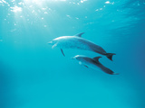 Two Spinner Dolphins Photographic Print by Green Light Collection