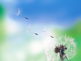Dandelion Seeds Blowing From Dandelion Seed Head Photographic Print by Green Light Collection