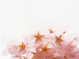 Shining Pink Flowers with White Background Photographic Print by Green Light Collection