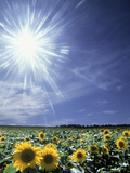 Bright Burst of White Light Above Field of Sunflowers Photographic Print by Green Light Collection
