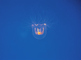 Jellyfish, Undersea View Photographic Print by Green Light Collection