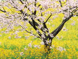 Flowering Cherry Tree in Mustard Field Photographic Print by Green Light Collection