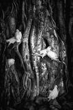 Love Birds In Banyan Tree, HawaII Photographic Print by Dee Smart