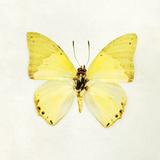 Butterfly Impression III Giclée-tryk af Irene Suchocki