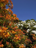 Rhodedendron Shrubs in Bloom Photographic Print by Green Light Collection