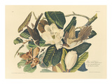 The Black Billed Cuckoo Reproduction giclée Premium par John James Audubon